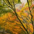 Canopy of Japanese Maple Trees in the Fall — Stock Photo