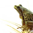 Pacific Tree Frog Sitting on Stalk of Wheat — Stock Photo #4175041