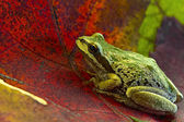 Pacific Tree Frog on Maple Leaves — Stock Photo