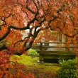 Stock Photo: Japanese Red Lace Leaf Maple Tree in Fall
