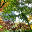 Canopy of Japanese Maple Trees in the Fall 3 — Stock Photo