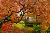 Japanese Red Lace Leaf Maple Tree in Fall — Stock Photo