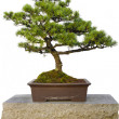 Bonsai Tree Sitting on Stone Bench in Chinese Garden - Stock Photo