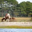 Assateague wild ponies — Stock Photo