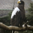 Black sea eagle — Stock Photo