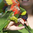 Colorful lorikeet on hand - Stock Photo