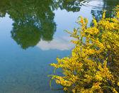 Australian acacia — Stock Photo