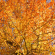 Fall leaves of American beech - Stockfoto