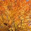 Fall leaves of American beech - Lizenzfreies Foto