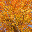Fall leaves of an American beech vertical - Photo