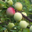 Ripening fruits of a Superior Japanese plum — Stock fotografie