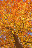 Fall leaves of an American beech vertical — Stock Photo