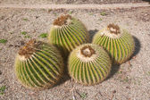 Clump of barrel cacti in a bed of gravel — Stock Photo