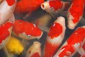 鲤科鱼类的人群 — 图库照片