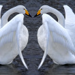 Swan couple romance — Stock Photo
