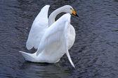 Swan ballet — Stock Photo