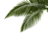 Leaves of palm on white background — Stock Photo