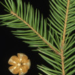 Spruce and golden cone — Stock Photo