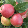 Apples — Stockfoto #4400809