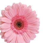 Pink gerbera — Stock Photo