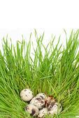 Quail eggs in a green grass — Stock Photo