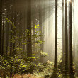 Coniferous forest at dawn — Stock Photo #3999159