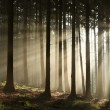 Stock Photo: Autumn coniferous forest at sunrise