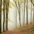 Misty autumn beech forest — Stock Photo