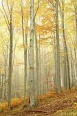 Scenic autumn beech forest in the fog — Stock Photo