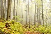 Misty autumn beech forest — Stock Photo