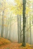 Autumn beech forest in the fog — Stock Photo