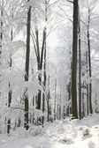 Winter beech forest backlit by the morning sun — Stock Photo