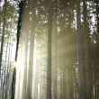 Stock Photo: Misty coniferous forest at dawn