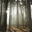 Misty coniferous forest at dawn — ストック写真