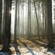 Misty coniferous forest at dawn — Stockfoto #5080345