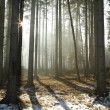 Misty coniferous forest at dawn — Stockfoto