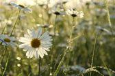 Closeup of daisies at dawn — Stok fotoğraf