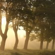 Trees on a foggy morning - Stock Photo