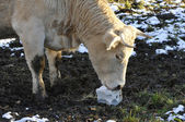 Vaca que lamber um sal de bloco no chão — Foto Stock