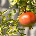 Pomegranate — Stock Photo