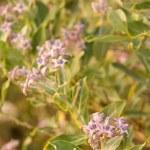 Ayurveda Medicinal Plant Calotropis Gigantea — Stock Photo #4338004