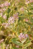 Ayurveda planta medicinal calotropis gigantea — Foto de Stock