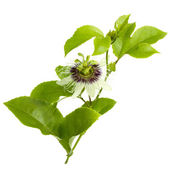 Passion Fruit Flower and Leaves Isolated on white — Stock Photo