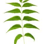 Neem Leaf Sacred Ayurvedic Remedy — Stock Photo
