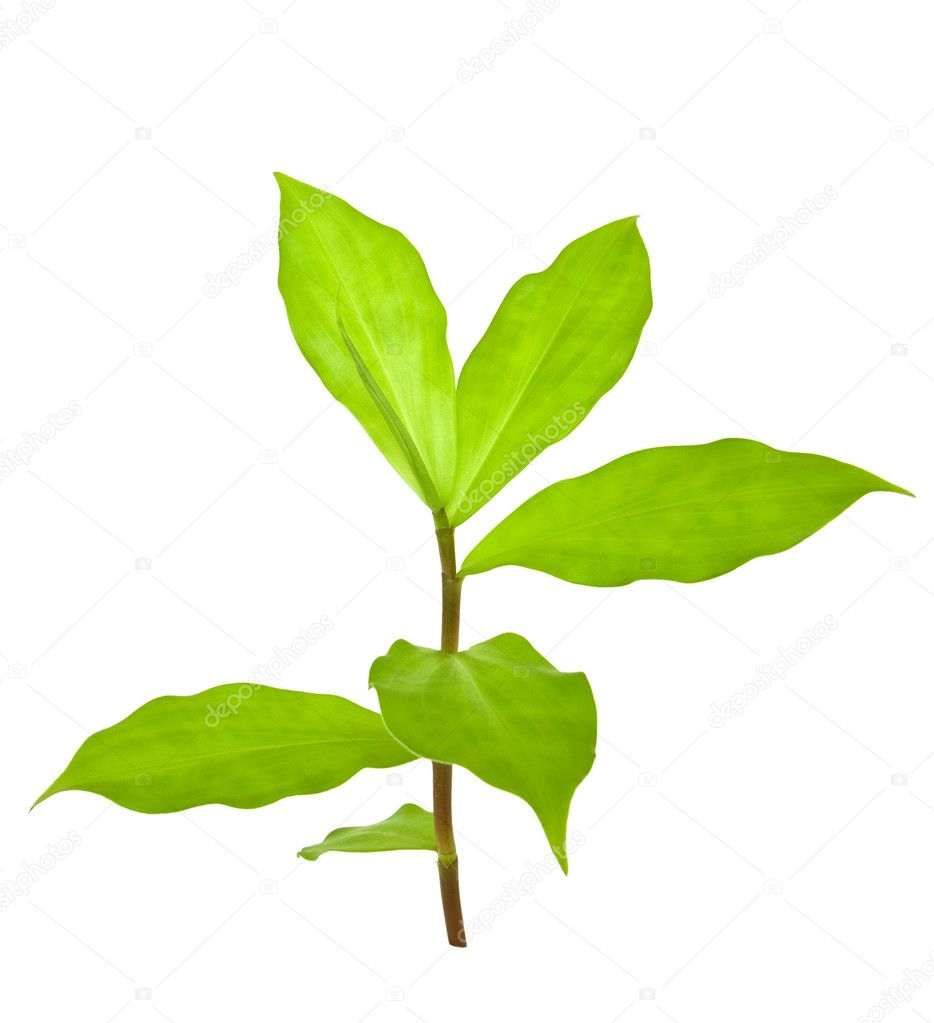 Insulin Plant for Diabetes isolated — Stock Photo
