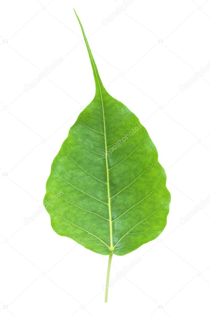 Bodhi Tree Leaf http://depositphotos.com/4773811/stock-photo-Bodhi-or-Peepal-Leaf-from-the-Bodhi-tree.html