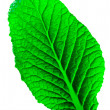 Leaf isolated - Stock Photo