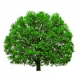Stock Photo: Big majestic oak tree isolated