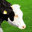 Young cow eating grass — Stock Photo #4116918