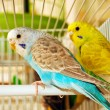 Blue and yellow budgerigars - Stock Photo